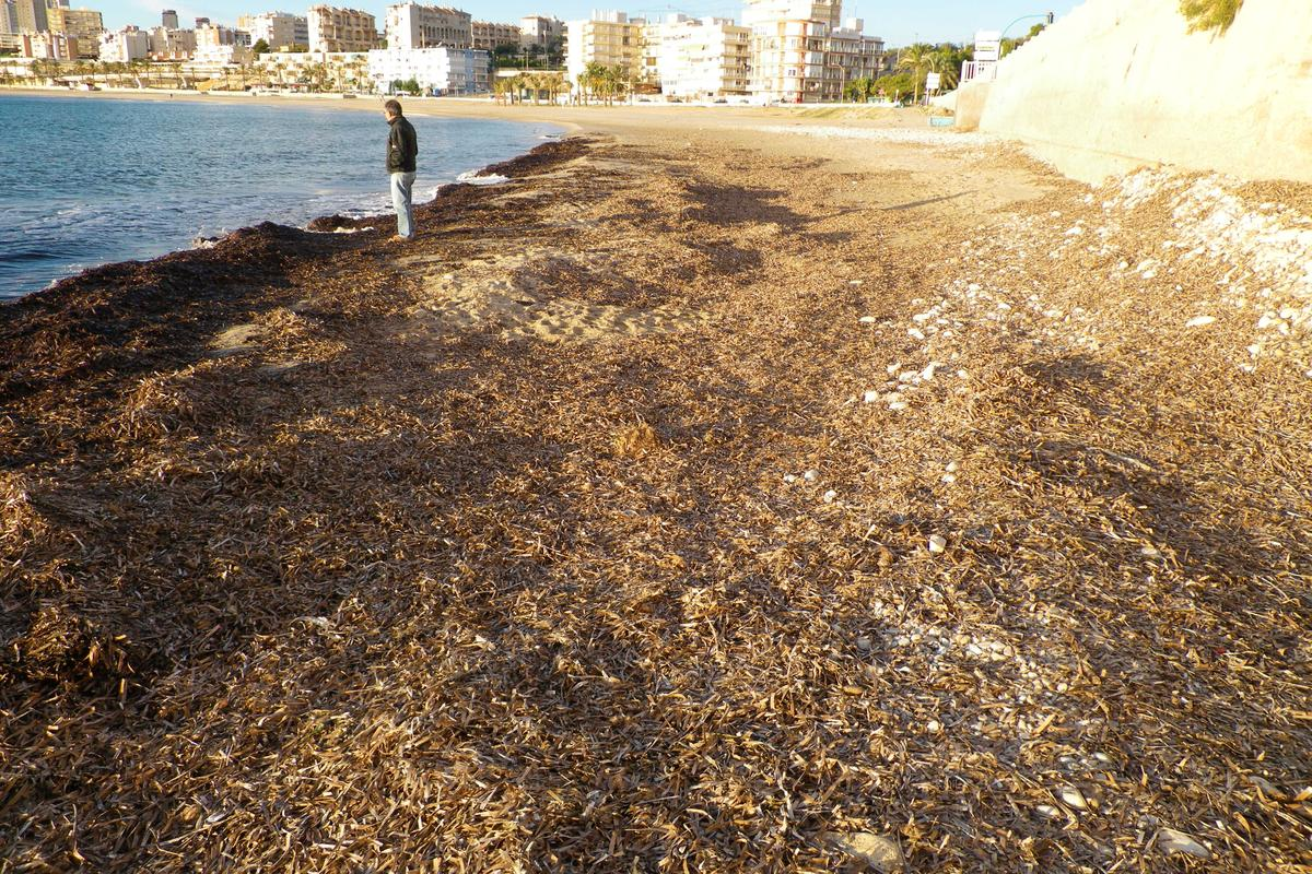 Dead seaweed on a beach in the Spanish city of Alicante