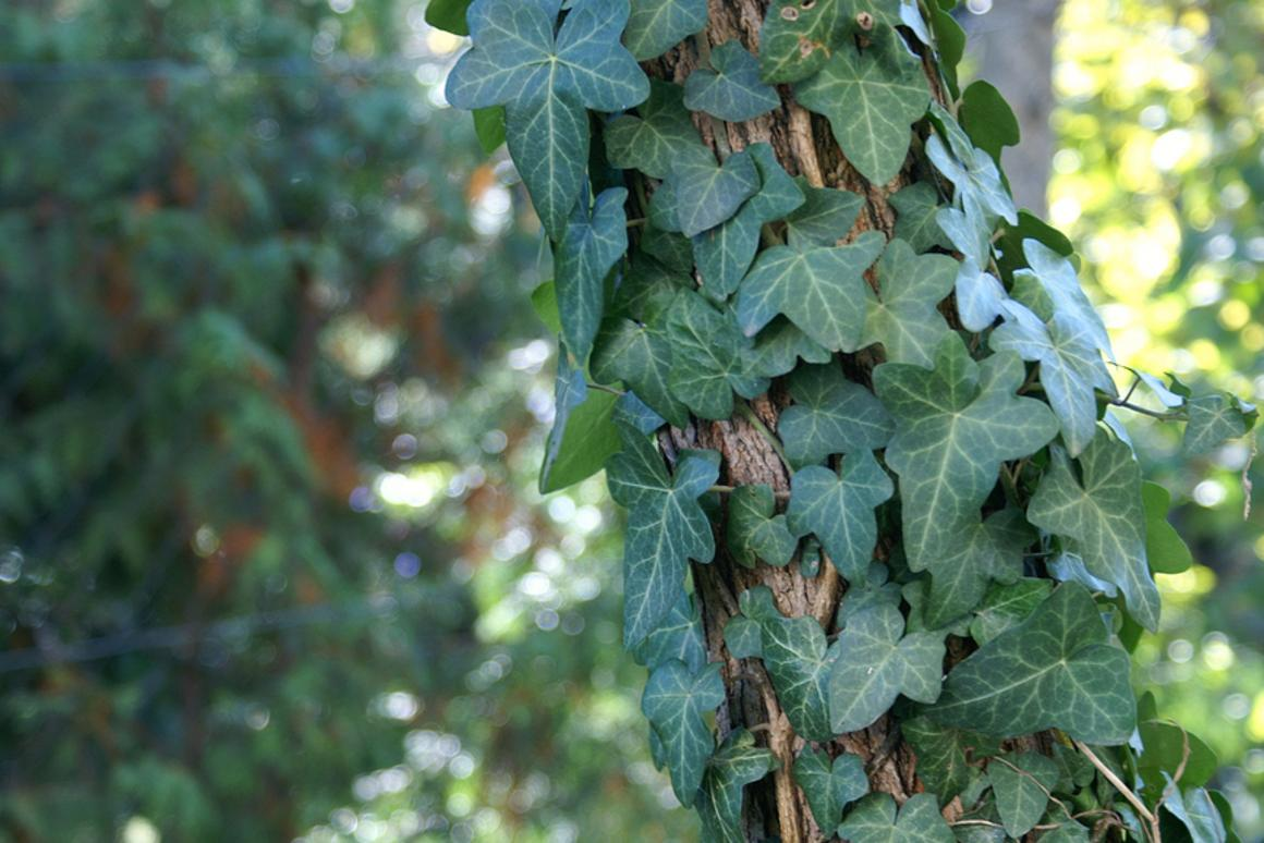 Common or English ivy (Hedera helix) clinging to an Acacia