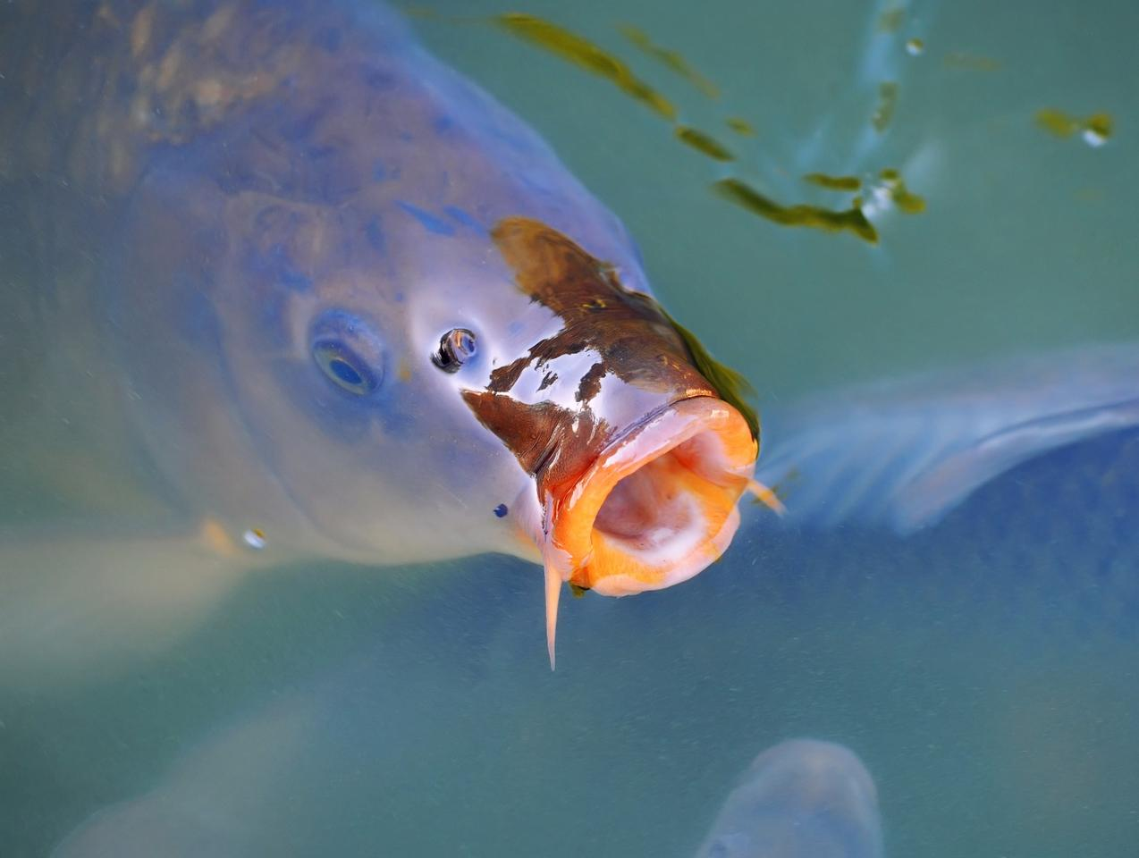 Once the carp are infected with CyHV-3, the virus multiplies over the next seven days or so