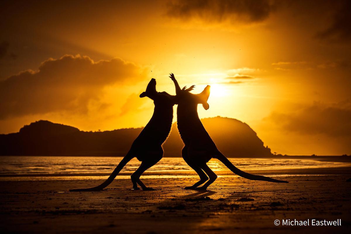 Shortlist - Animal Behavior. Dance at Dawn. Wallaby (Macropodidae), Cape Hillsborough National Park, Queensland. Sony A7RIV, Sony 24–105 G OSS, 1/1600, f/9, ISO 100, handheld