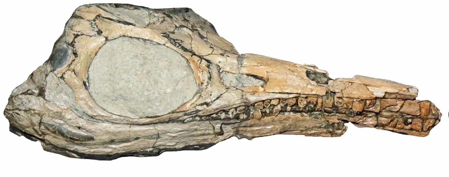 A Protoichthyosaurus skull, where some of the differences lie between it and the related species, Ichthyosaurus