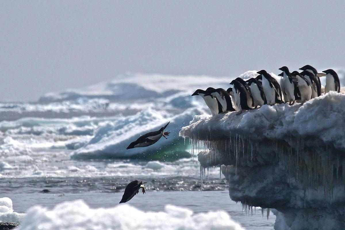 The researchers found that 751,527 pairs of Adélie penguins call the Danger Islands home