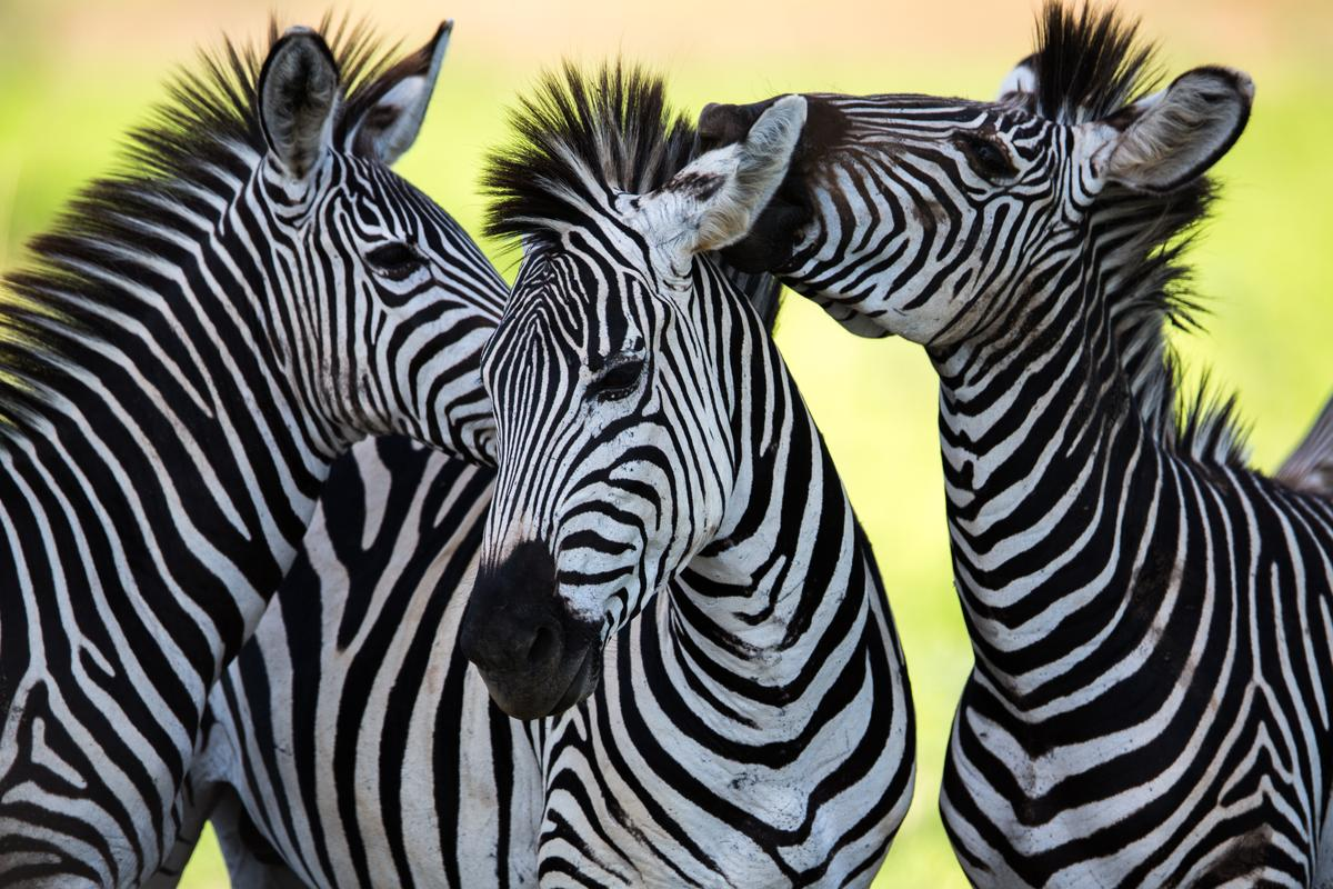 The reasons for a zebras stripes are far from black and white