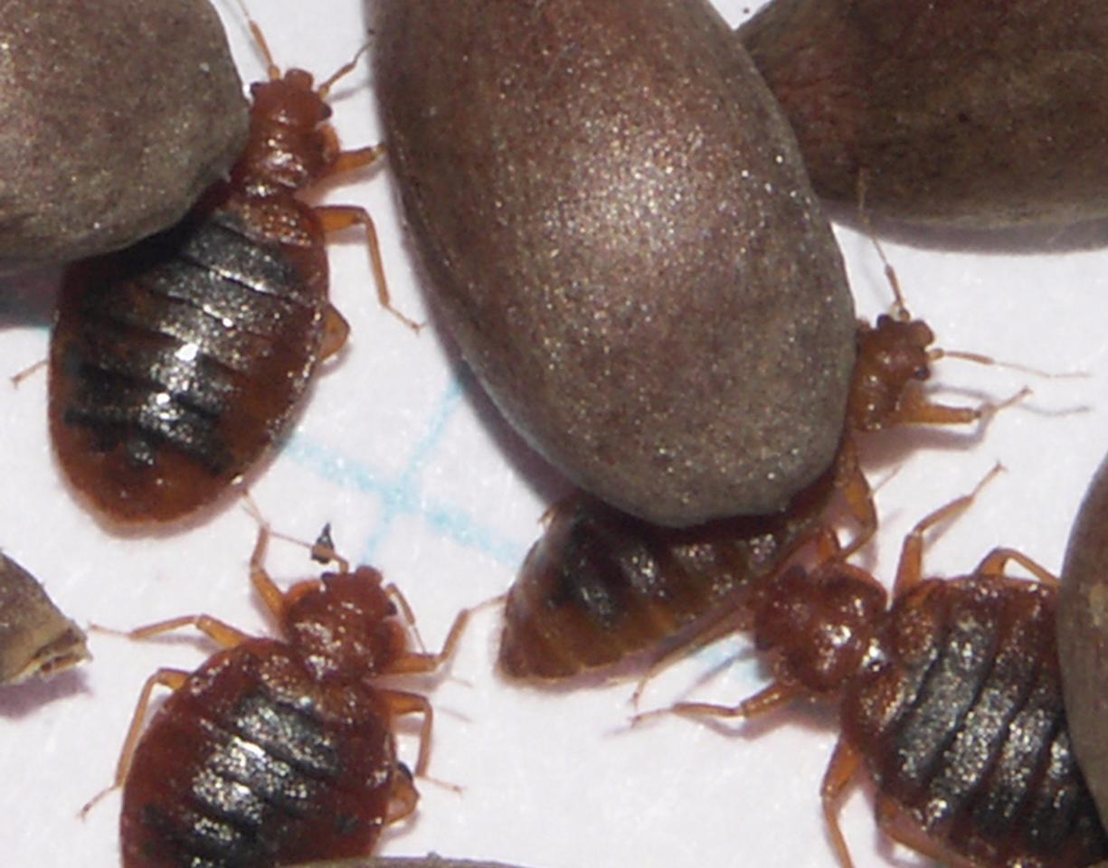 Male and female adult bedbugs in comparison to apple seeds (Credit: AMNH/L. Sorkin)