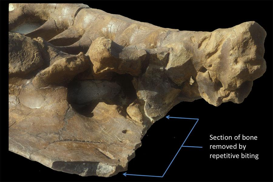 """This section of Triceratops pelvis shows some 80 T-rex bite marks, indicating a """"puncture and pull"""" pattern of biting"""
