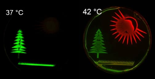 As an example of the thermal controls, the Caltech team drew a picture with bacteria in a petri dish: at 37º C, bacteria in the tree shape glow green, and at 42º C, those in the sun shape glow red