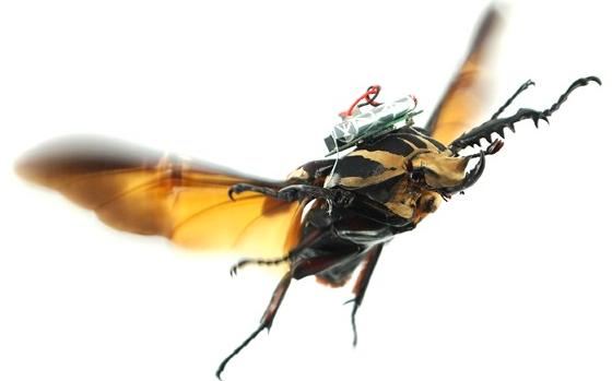 One of the giant flower beetles, in human-controlled flight (Photo: Tat Thang Vo Doan and Hirotaka Sato/NTU Singapore)