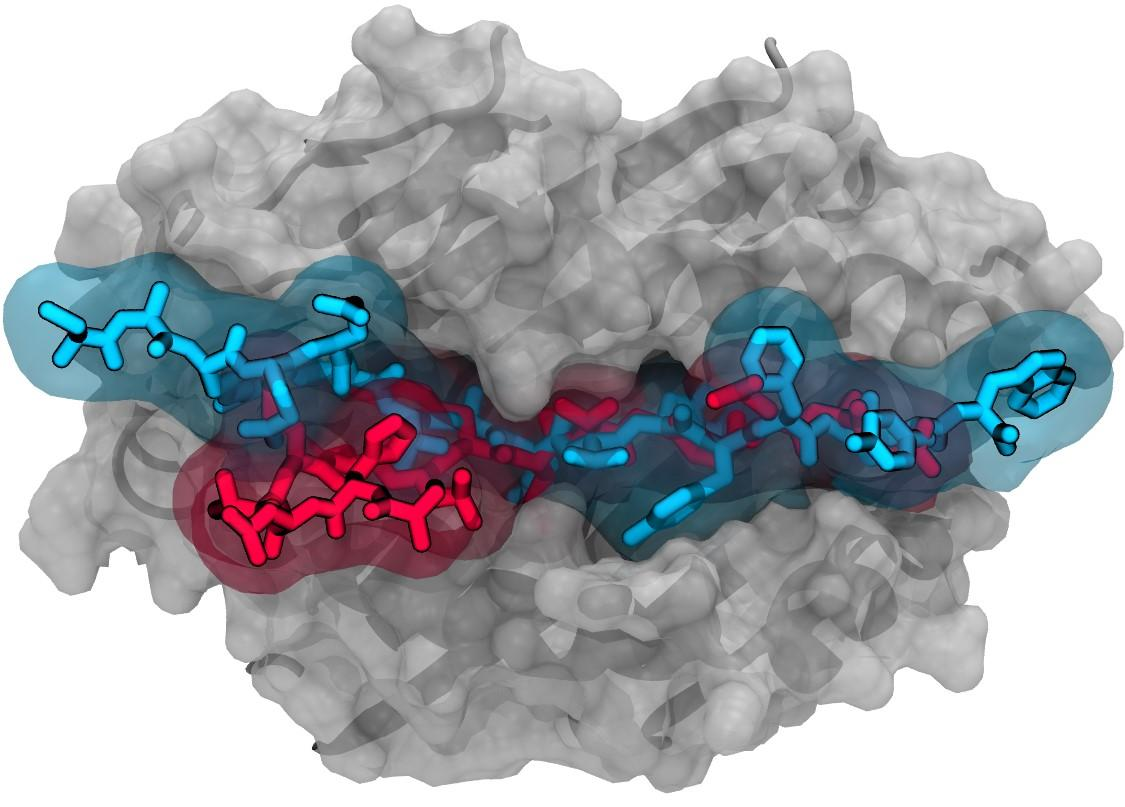 "Computer simulation showing the extremely tight binding to an immune system cell of a peptide (blue) produced by the newly discovered ""X lymphocyte."" The protein may direct the mistaken destruction of healthy insulin-producing cells in the pancreas, and in turn, cause type 1 diabetes. This autoimmune response is 10 times stronger than that seen with a weaker-binding, lab-engineered insulin mimic (red) that is itself 1,000 times more immune stimulating than normal insulin"