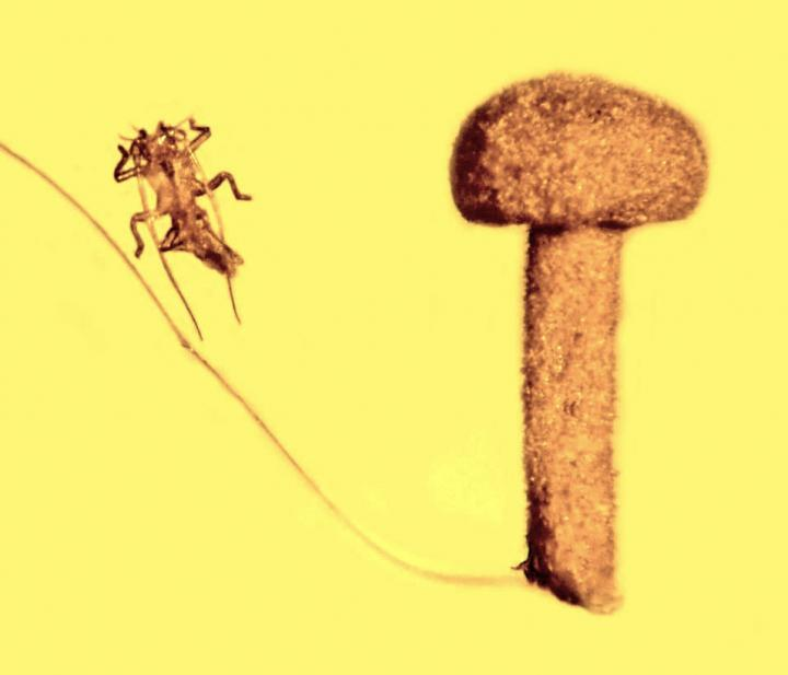 A piece of Baltic amber showing a never-before-seen mushroom, the remains of an insect's exoskeleton and an animal hair