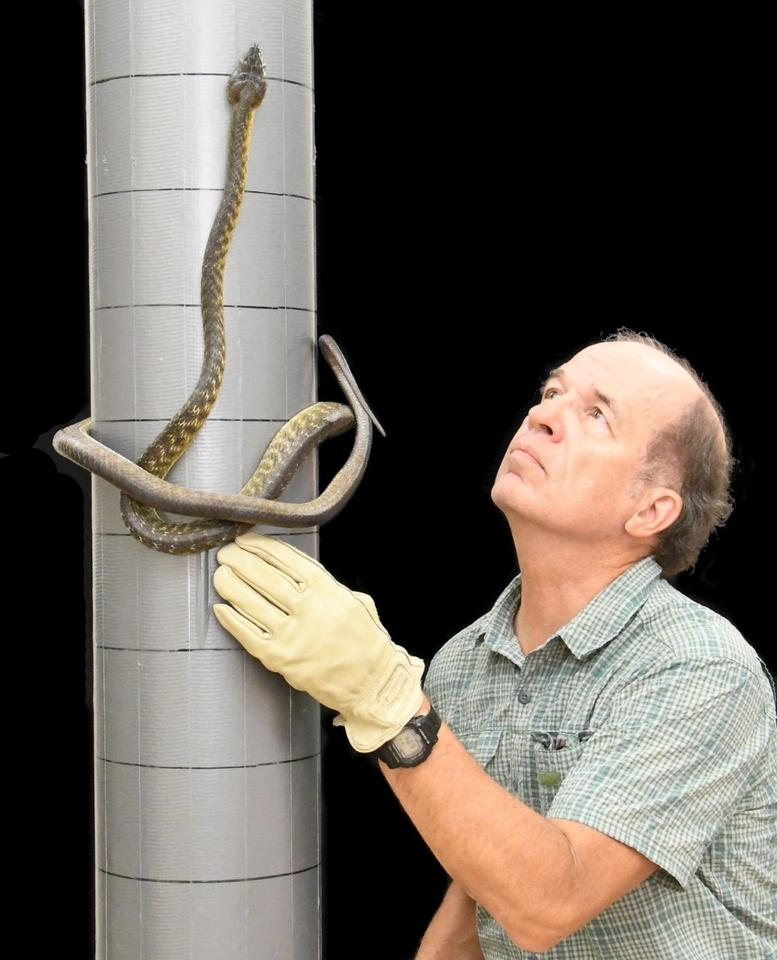Biologist Bruce Jayne coaxes a brown tree snake to climb in its lasso shape in lab tests