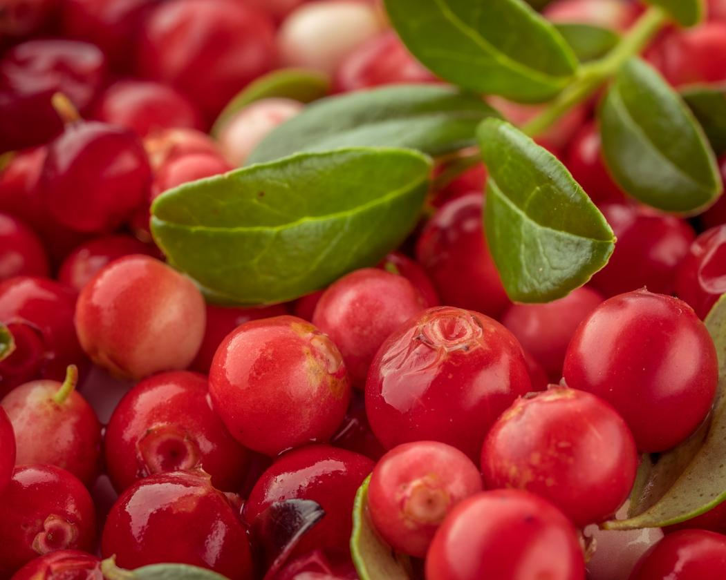 The lingonberry is native to the boreal forest and Arctic tundra throughout the Northern Hemisphere, from Eurasia to North America