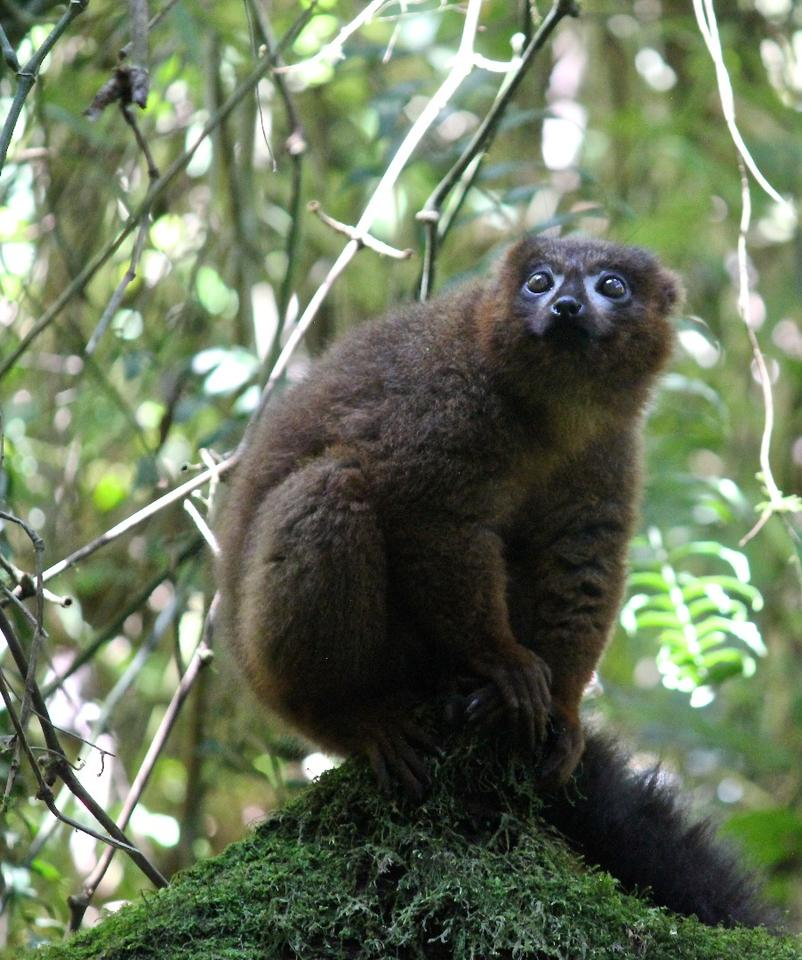 The lemur situation in Madagascar is nothing short of a crisis