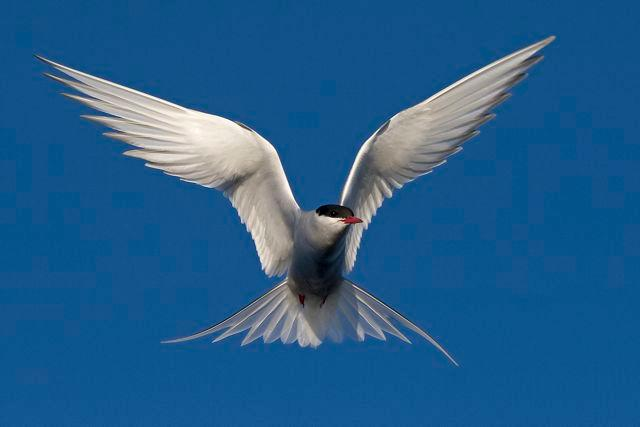 The Arctic tern (Sterna paradisaea) is an elegant flyer performing an annual long-distance migration between the Arctic and the Antarctica