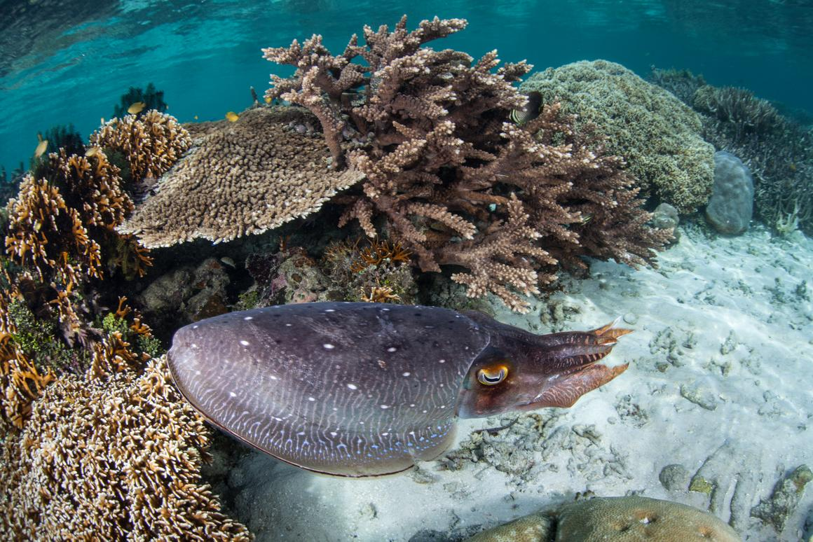 Thecuttlefish can change its appearance with remarkable speed - now scientists have a better understanding of how