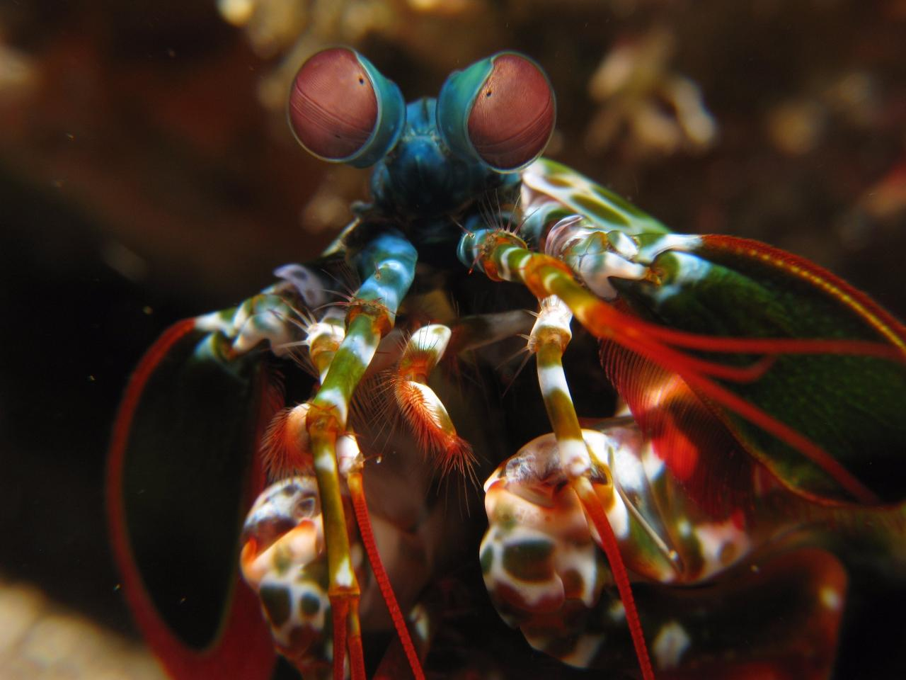 A mantis shrimp, with its swivelling eyes