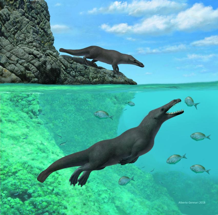 An artist's rendition of Peregocetus pacificus, a newly described species of amphibious, four-limbed whale