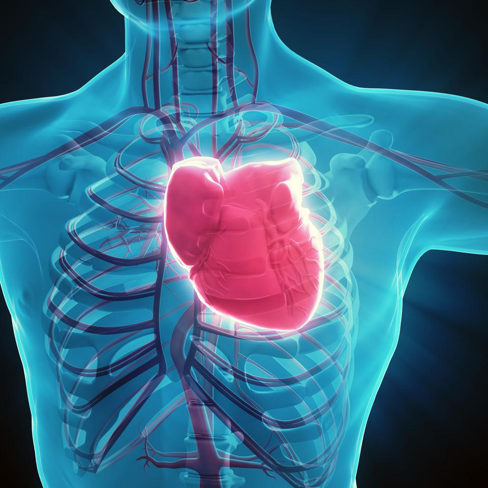 The researchers will now investigate how these trained cardiomyocytes might be safely integrated into real-life heart muscle