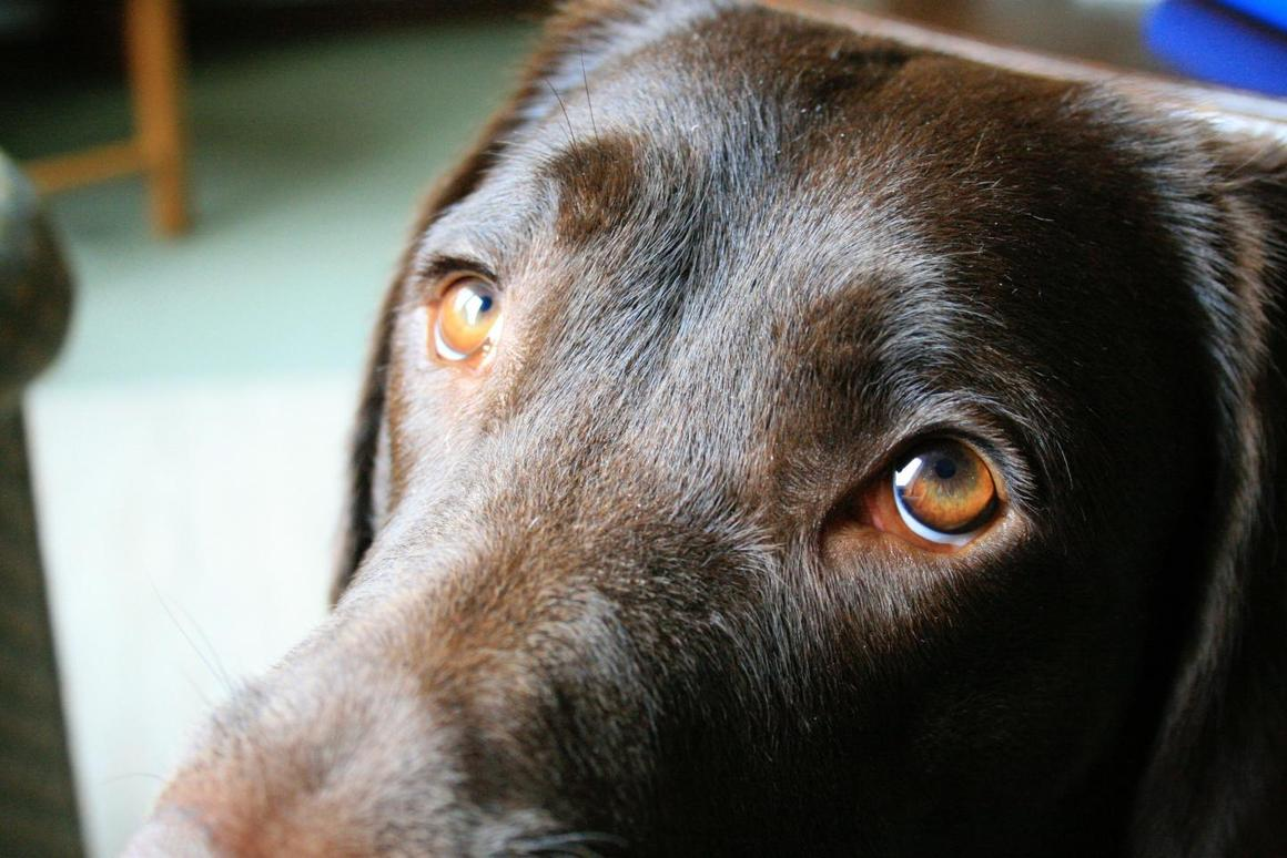 The raised inner eyebrow movement in dogs is driven by a muscle which doesn't consistently exist in their closest living relative,wolves