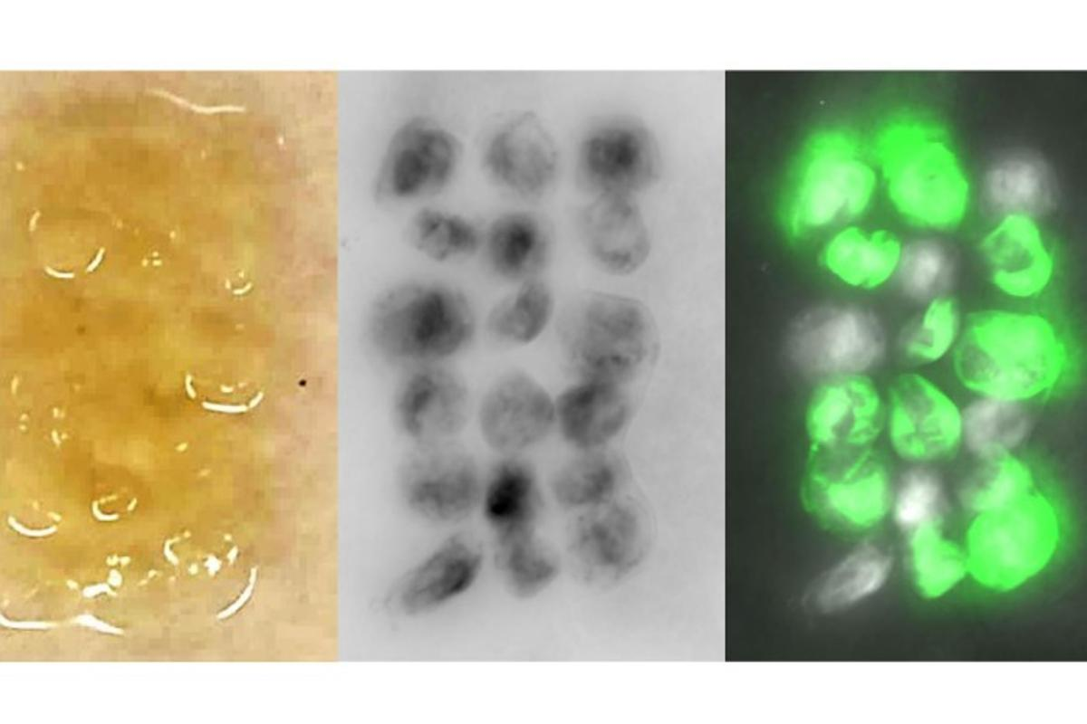 Bacteria were genetically engineered to produced fluorescent cell cultures called spheroids, which act as self-repairing building blocks