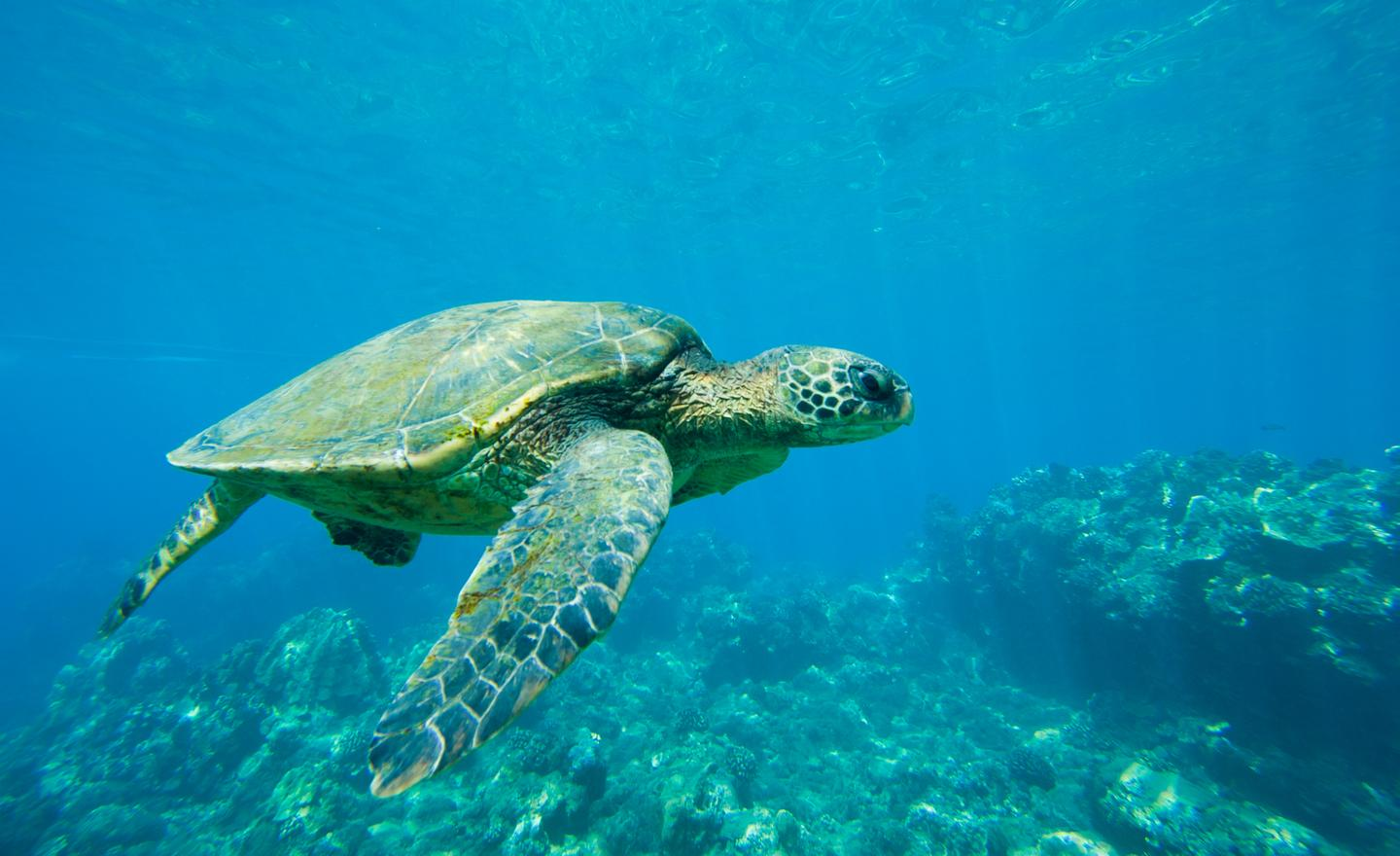 A new study has uncovered some of the sensory mechanism that can drive sea turtles to consume plastic waste