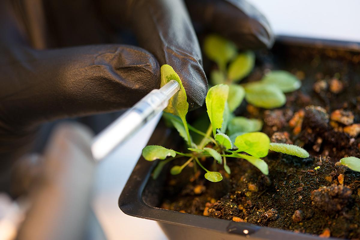 By infusing the leaves of an Arabidopsis thaliana plant with nanoparticles, MIT researchers have boosted the plant's energy production (Photo: Bryce Vickmark)