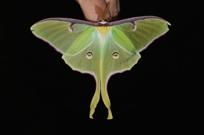 Luna moths, which are common to the central and eastern US, feature a long twisted tail