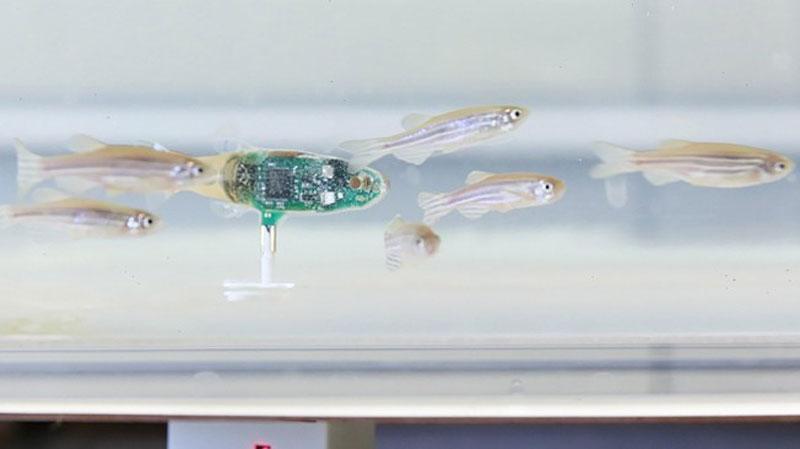 The robotic zebrafish goesundercover