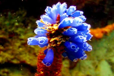 A Tunicate commonly known as a Sea Squirt(Photo: Nick Hobgood)