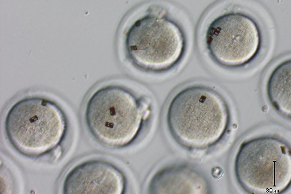 Spanish scientists have attached silicon barcode labels to embryos and oocytes