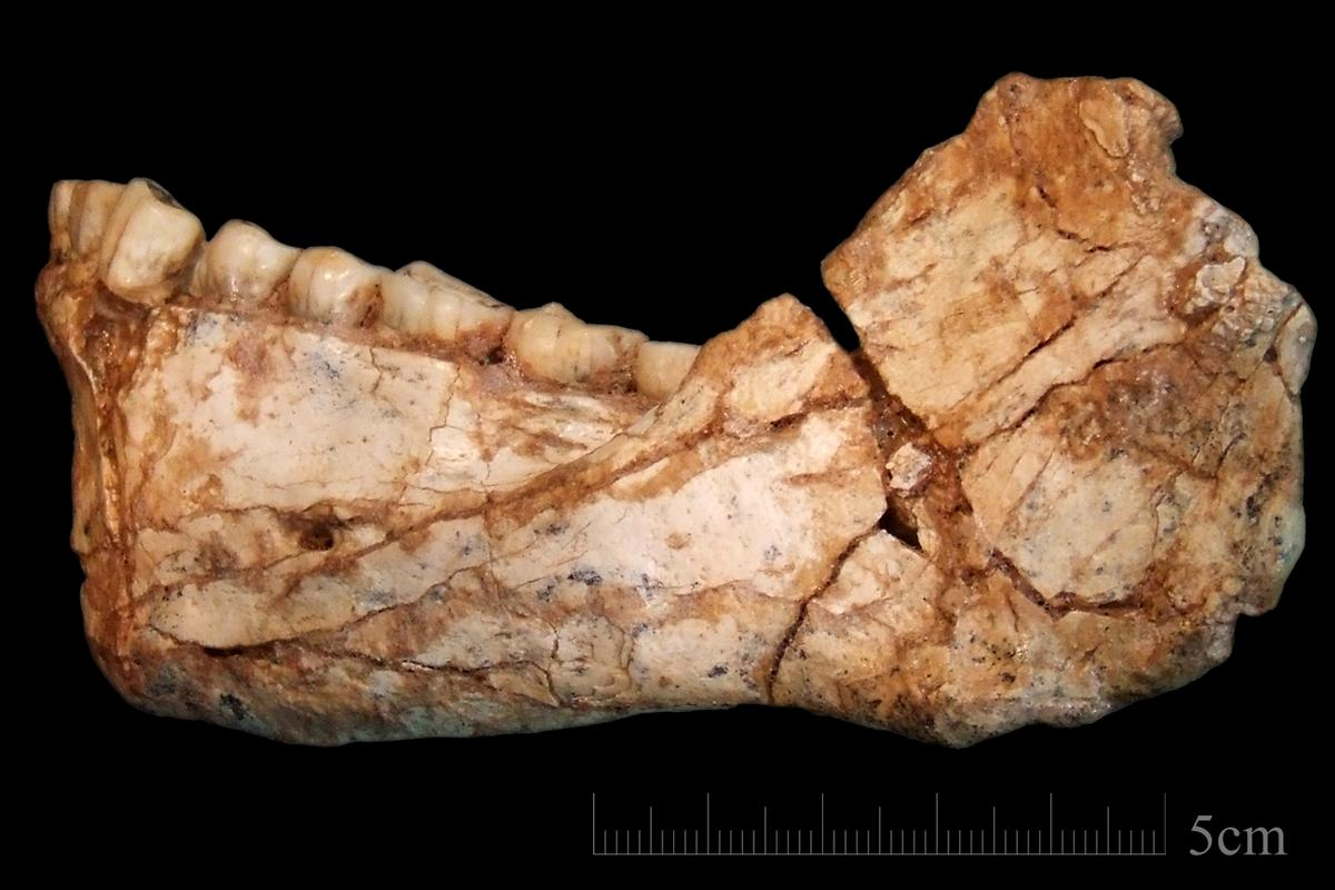 Analmost complete adult mandible discovered at the site of Jebel Irhoud