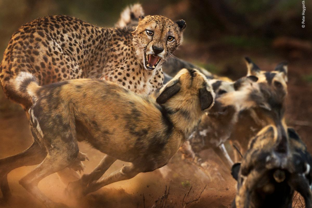 """Big cat and dog spat"" by Peter Haygarth, UK. Highly Commended 2019, Behaviour: Mammals. In a rare encounter, a lone male cheetah is set upon by a pack of African wild dogs. (Both species have disappeared from much of their former ranges, with fewer than 7,000 left of each, mainly due to habitat loss and fragmentation. Both exist at low densities.) Peter had been following the dogs by vehicle as they hunted in Zimanga Private Game Reserve, KwaZulu-Natal, South Africa. A warthog had just escaped the pack when the leading dogs came across the big cat. At first, the dogs were wary, but as the rest of the 12-strong pack arrived, their confidence grew, and they began to encircle the cat, chirping with excitement. The elderly cheetah hissed and lunged back at the mob, his left ear tattered, the right one pinned back in the ruckus. As dust flew in the morning light, Peter kept his focus on the cat's face. In a few minutes the spat was over as the cheetah fled."