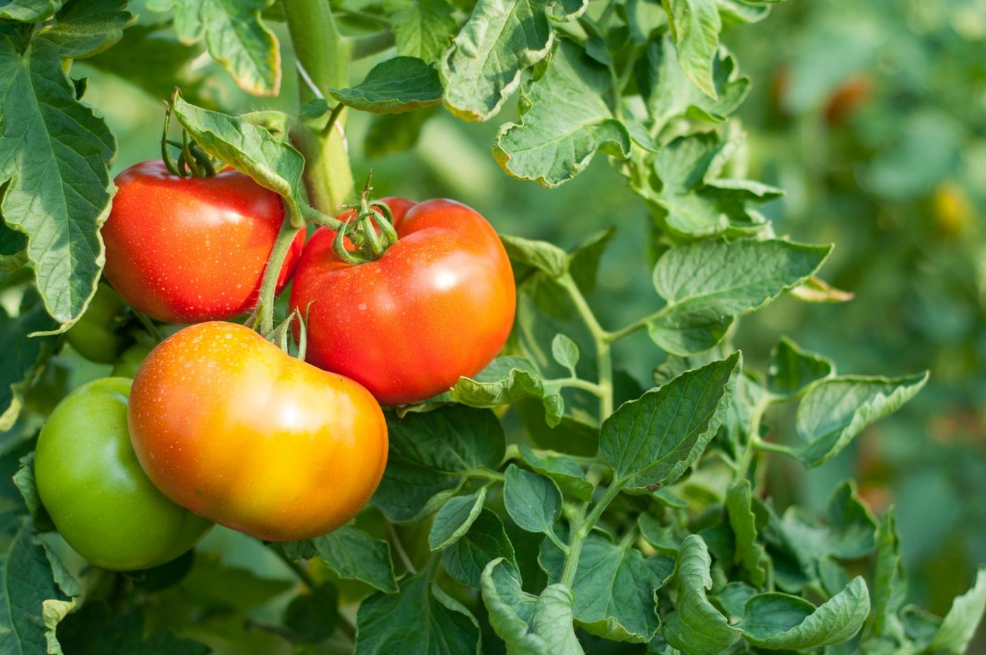 You may not know it, but tomatoes are a good source of hexenyl butyrate