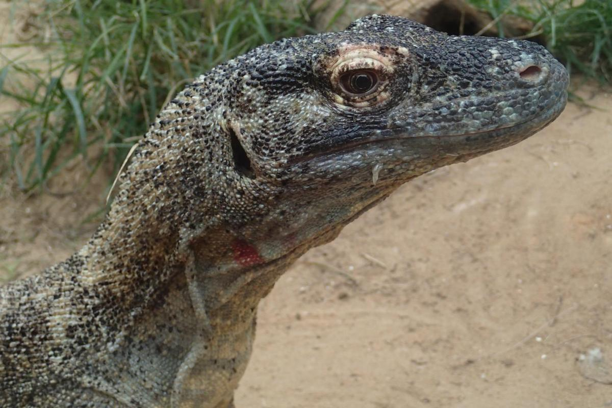 Not only is the Komodo dragon's mouth full of razor-sharp teeth, but it contains bacteria that eventually poison any prey that gets away