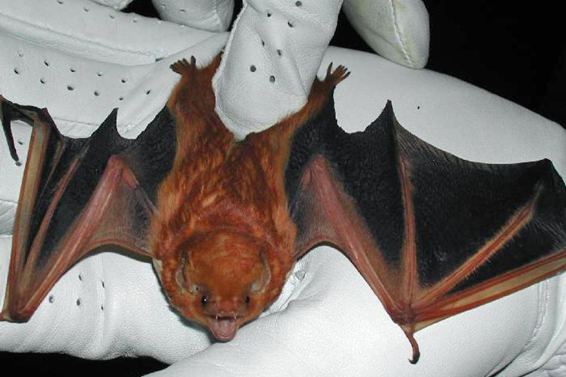An Israeli zoologist plans on studying bat behavior by equipping captive-raised bats with GPS, ultra-sonic microphones, and other sensors