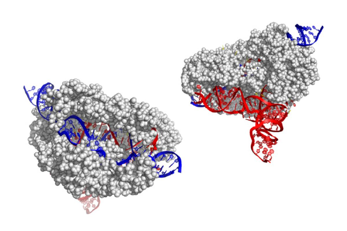 The structure of the CasX enzyme (grey), which uses RNA (red) to target and cut DNA (blue)