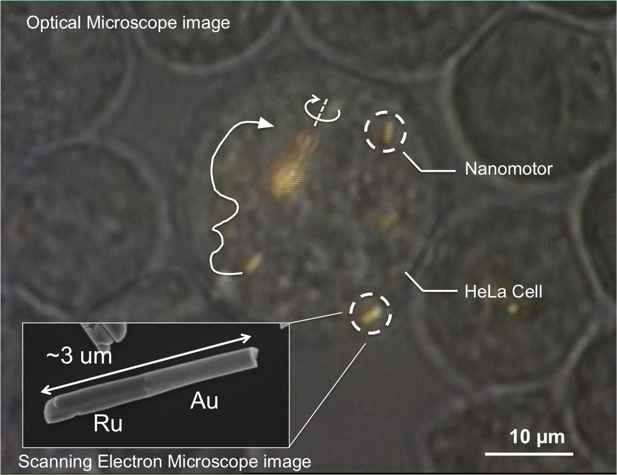 A close look at one of the nanomotors (inset), inside a living human cell