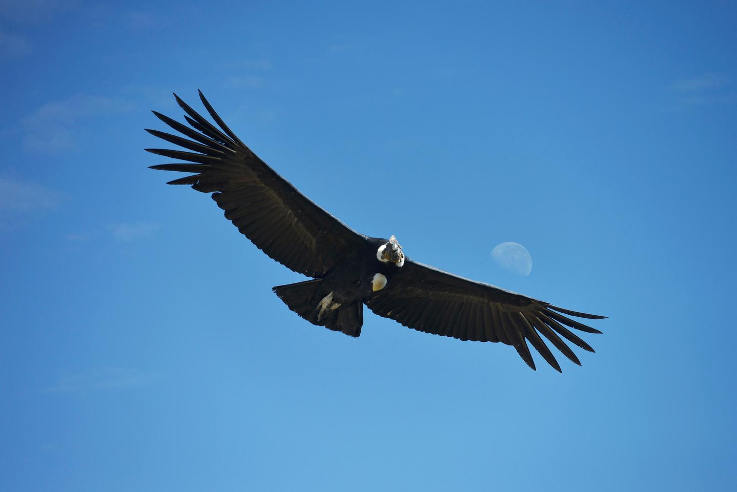 Flight tracking suggests that condors rarely flap their wings in flight""