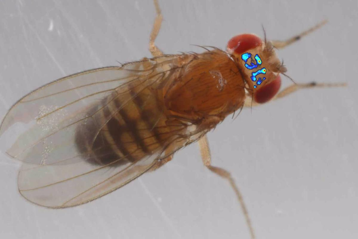 A composite image of fruit fly brain activity superimposed on a photo of a fly