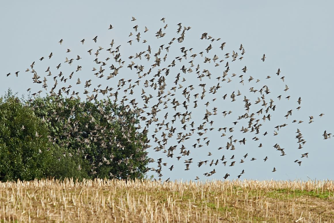 Lasers have been found to make effective scarecrows against birds such as starlings and red-winged blackbirds