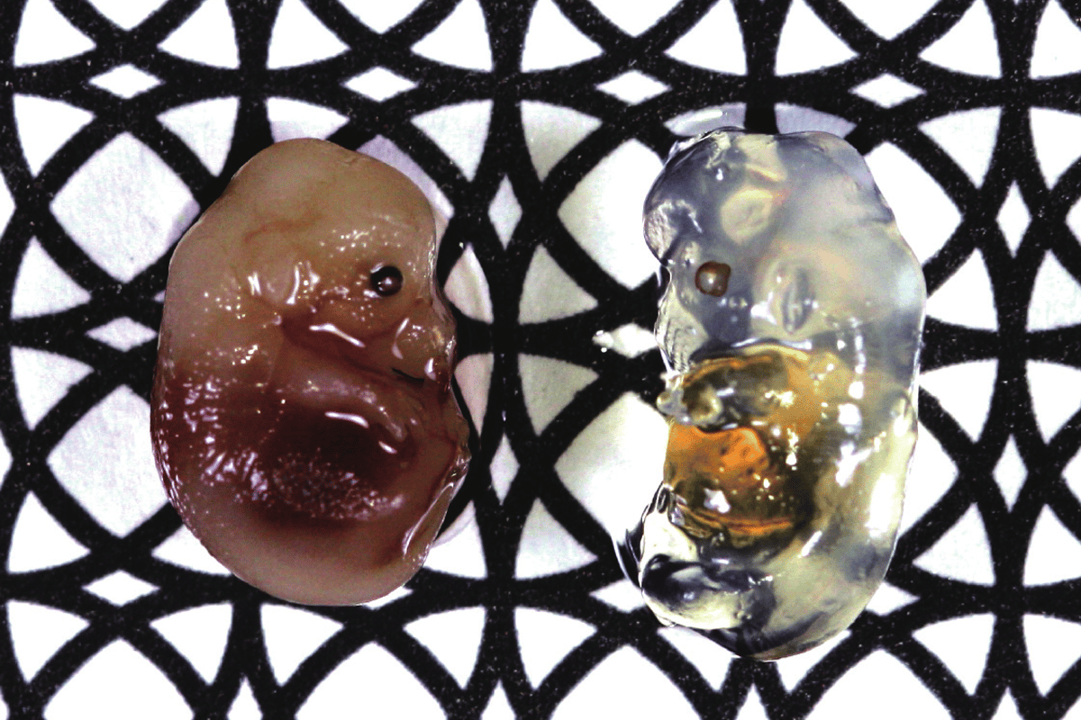 The clear mouse embryo on the right was incubated in the Scale reagent for two weeks