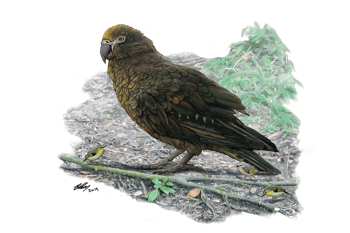 An illustration of Heracles inexpectatus, an extinct species of giant parrot