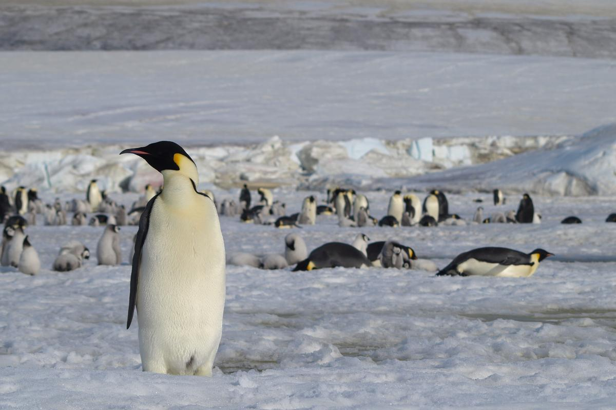The emperors are the world's largest penguins, and their estimated population has a received a boost thanks to satellite imagery