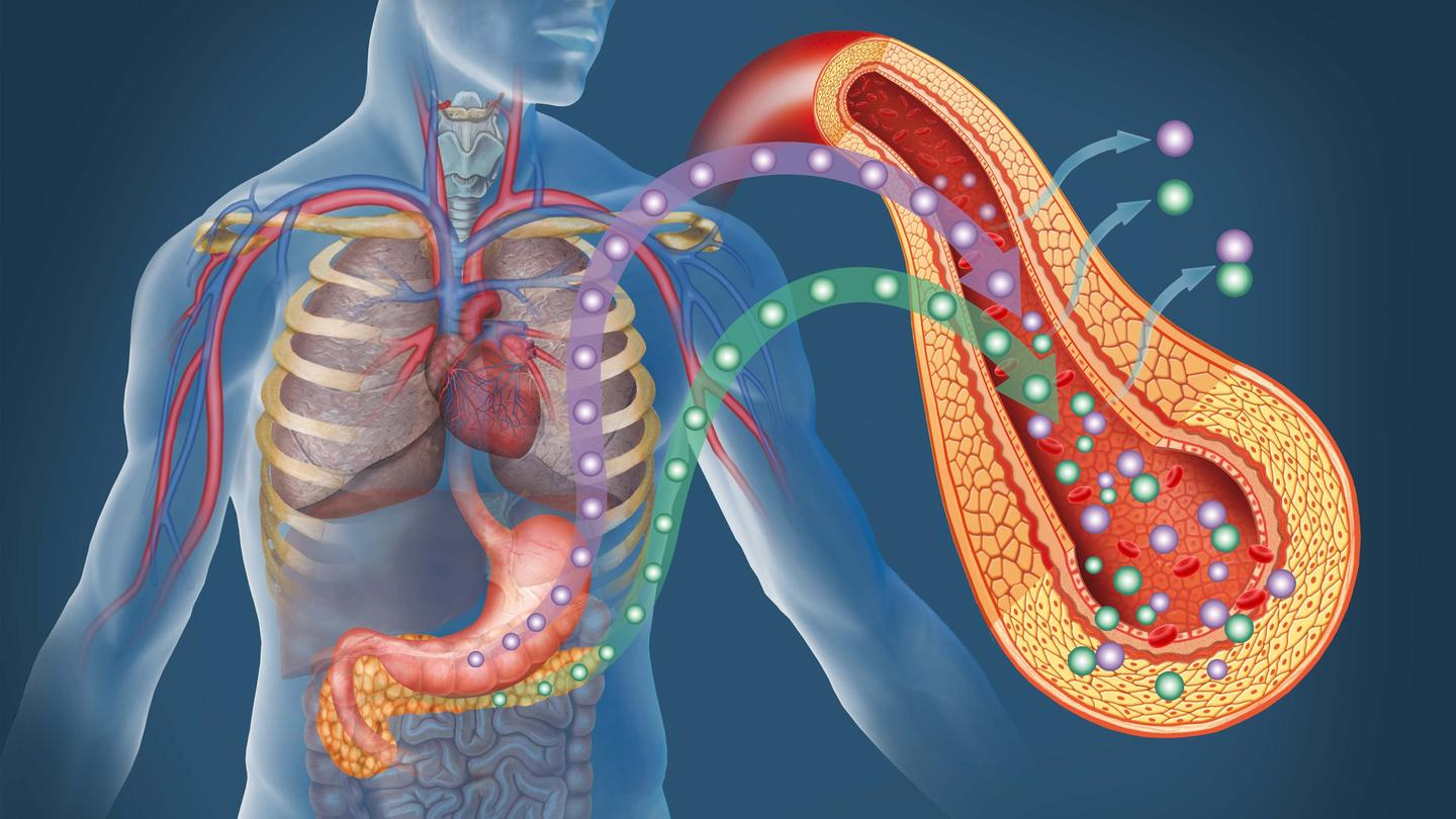 Replenishing the insulin-secreting beta cells found in the pancreas could lead to a more permanent treatment for diabetes (Image: Shutterstock)
