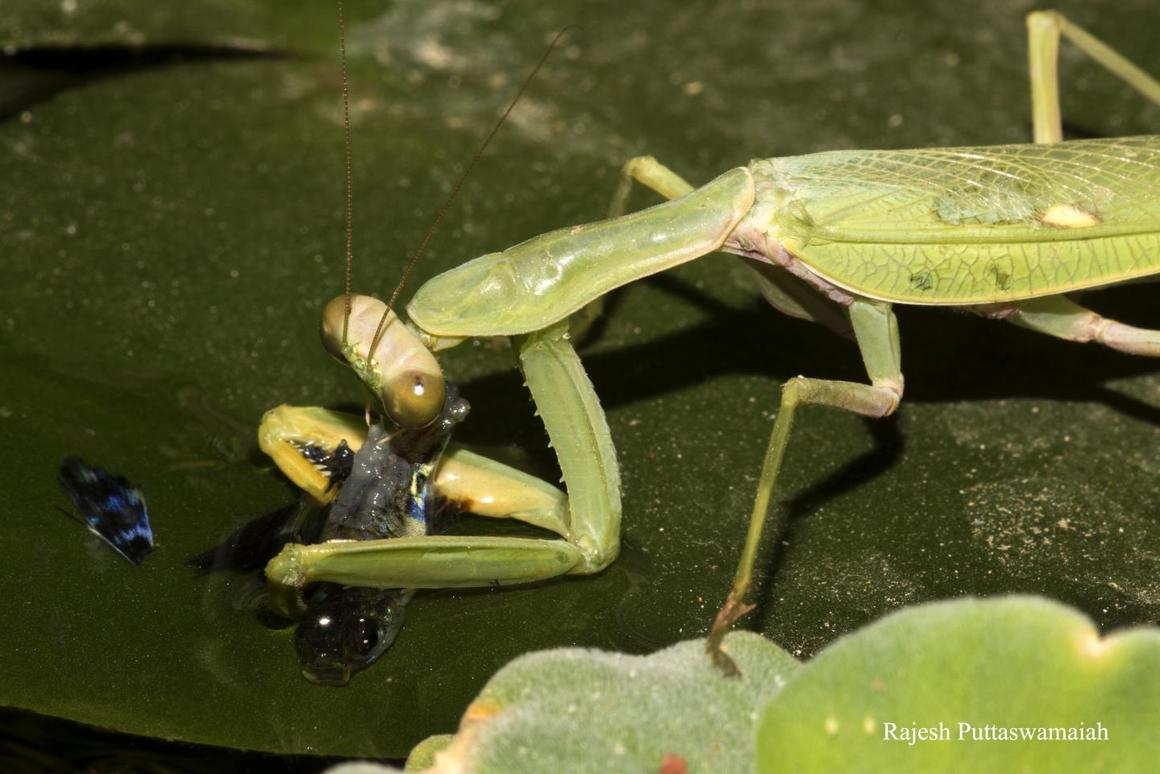 The fish-eating praying mantis chows down on its catch