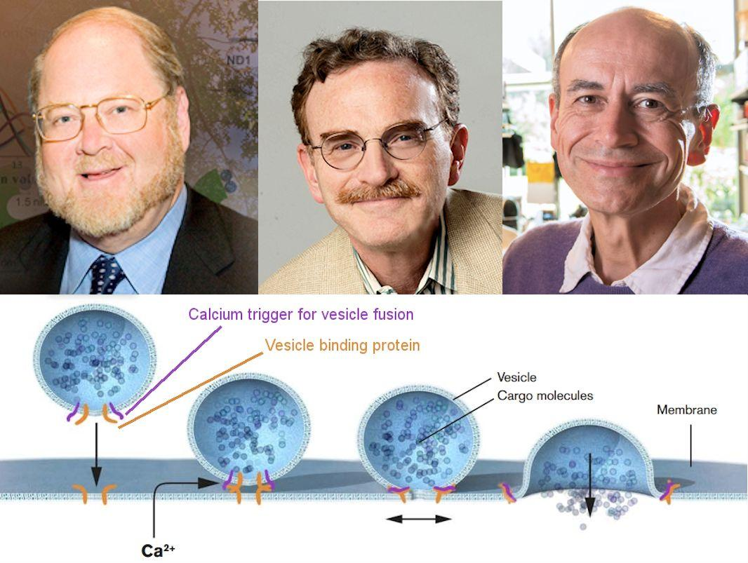 Winners of the 2013 Nobel Prize in Physiology or Medicine – James E. Rothman, Randy W. Schekman, and Thomas C. Südhof, together with a diagram summarizing their discoveries (Photo: Nobel Foundation)