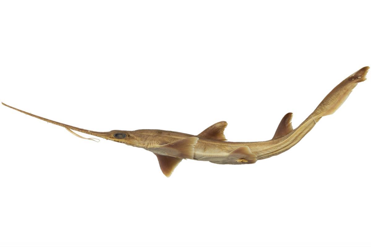 The sawshark redemption – a Pliotrema kajae specimen