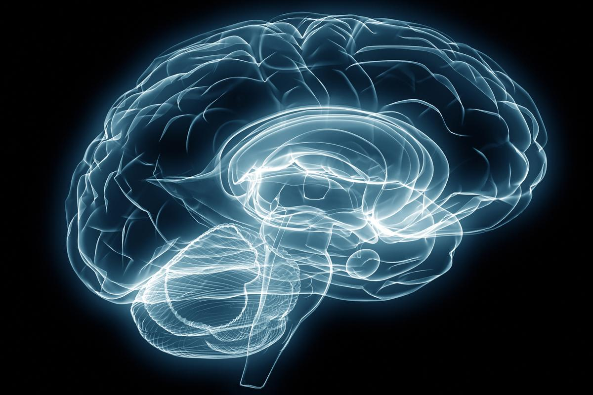 Researchers have reactivated brain plasticity in the brains of adult mice by transplanting a type of embryonic neuron (Image: Shutterstock)
