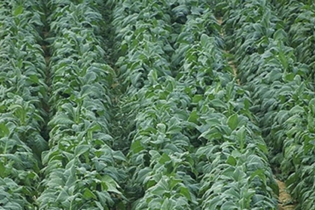 The nicotiana tobacco plant