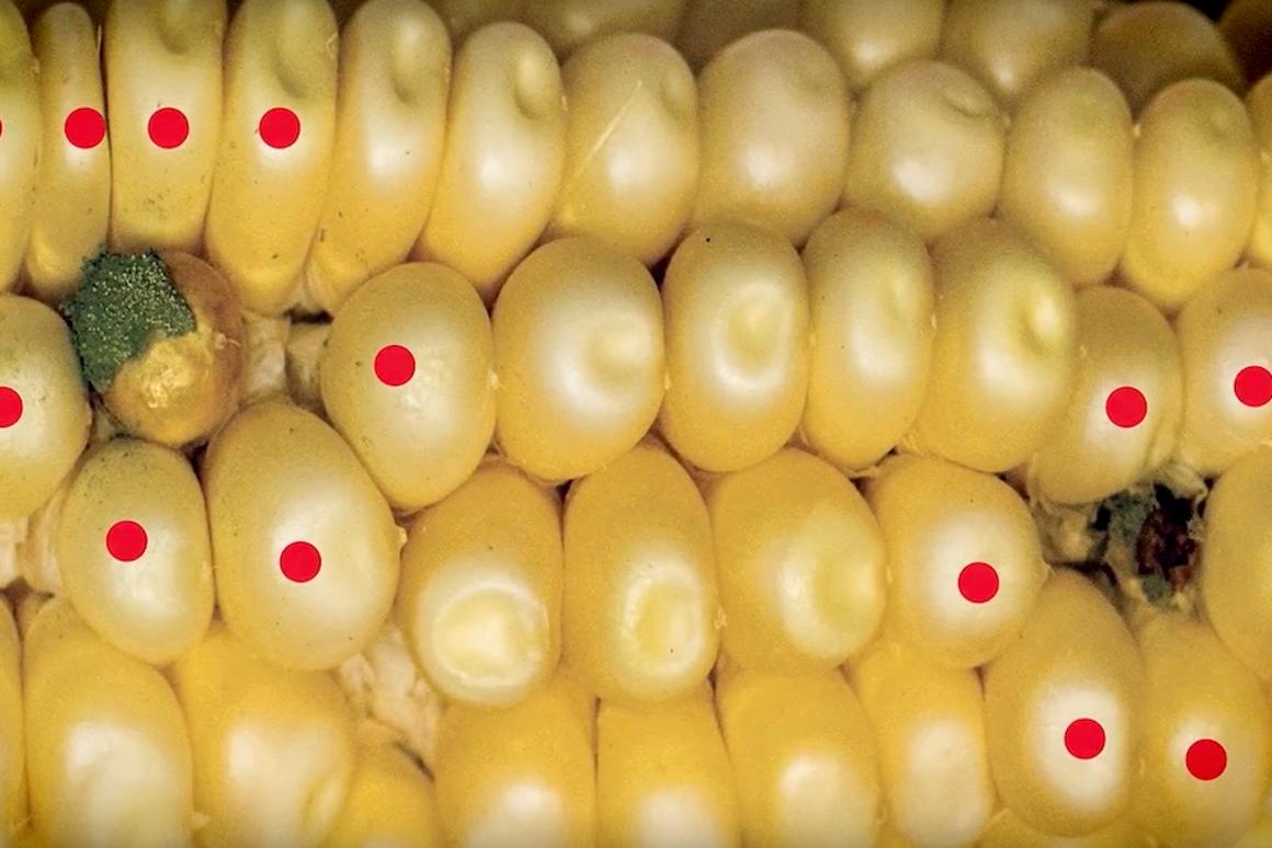 Researchers have genetically modified corn to neutralize thetoxic compounds found in fungus