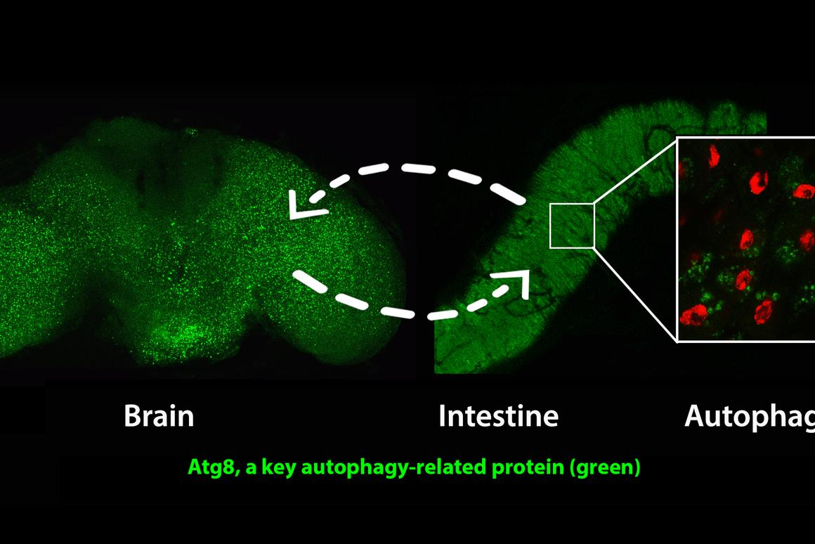 Activating a gene called AMPK in the nervous system induces the anti-aging cellular recycling process of autophagy in both the brain and intestine, substantially prolonging the healthy lifespan of fruit flies (Image: Matthew Ulgherait/UCLA)